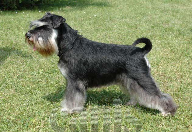 Atlas plemen psů - knírač malý  7e3672c00a